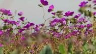 Die Atacama-Wüste blüht