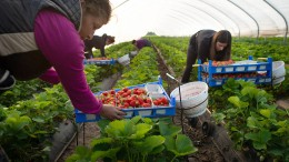 Studenten retten die Erdbeerernte