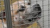 Nach der Tat verhaltensunauffällig: Staffordshire-Terrier-Mischling Chico im Tierheim Hannover.