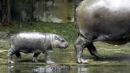 Baby-Boom im Zoo von Singapur