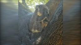 Dieser Koala hat die Hitze satt