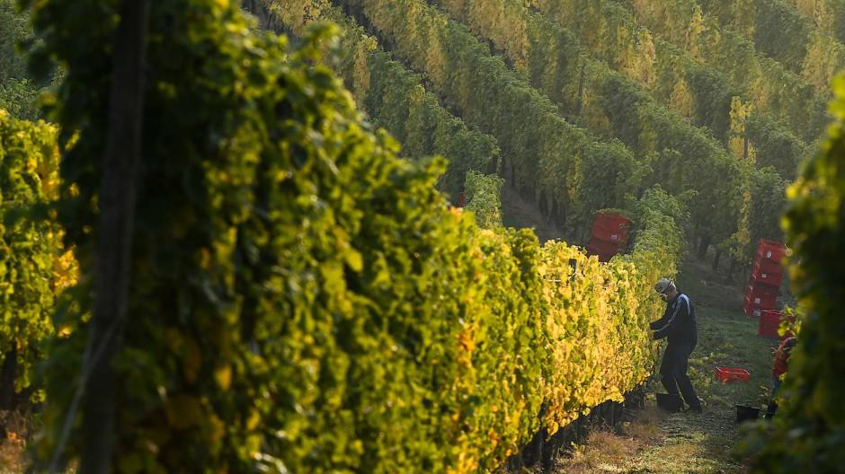 Trotz verteuerten Absatzmarktes: Der hessische Wein wächst munter weiter.