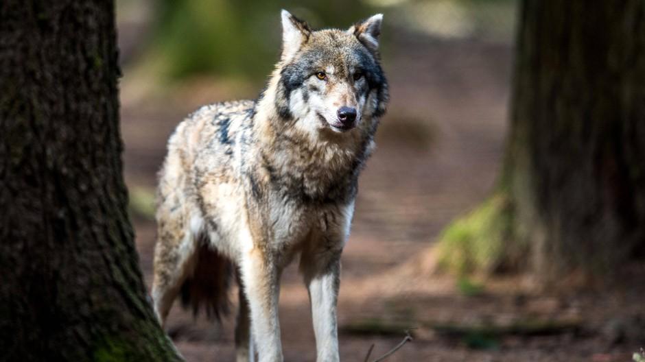Nach 150 Jahren, in denen das Raubtier fast ausgestorben war, erholt sich die Wolf-Population in Deutschland zunehmend.