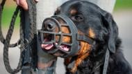 Ein Rottweiler mit Maulkorb: Beißereien unter Hunden sind nicht selten (Symbolbild)