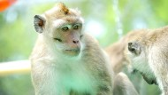 Langschwanzmakaken zählen zu den weltweit wichtigsten Versuchstieren für Experimente mit Primaten. Auf Mauritius werden sie zu Tausenden nachgezüchtet.