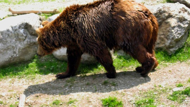 Der Bär ist wieder da