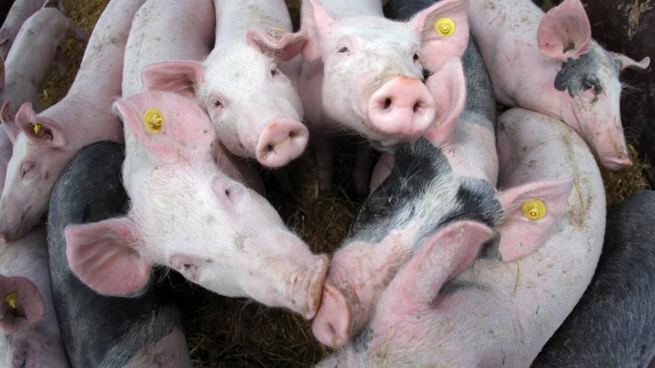 Glücksbringer: Auch Bio-Schweine machen ihren Besitzern momentan nicht viel Freude, die wirtschaftliche Situation ist angespannt.