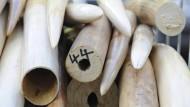 Behörden zerstören beschlagnahmte Stoßzähne