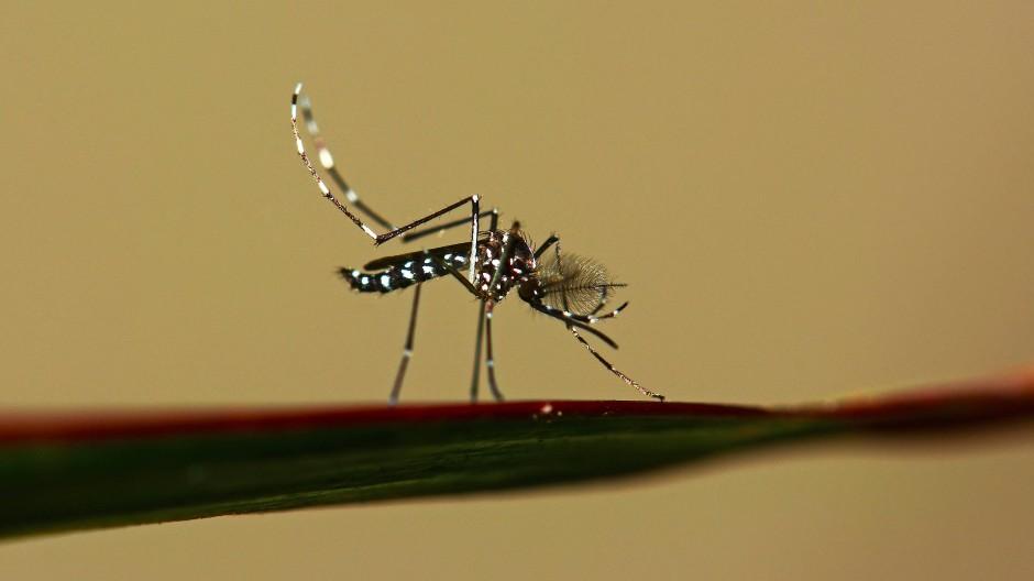 Eine Tigermücke, die einst nur aus tropischen Regionen bekannte Viren auch zu uns bringt.