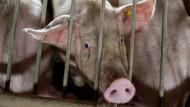 Je mehr Schweine gezüchtet und gemästet werden, desto eher treffen verschiedene Influenzaviren aufeinander - und mischen sich. Diese Neusortierung erhöht die Gefahr.