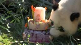 Panda-Männchen feiert Geburtstag