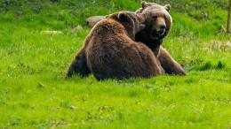 Braunbären für Sloweniens Wälder