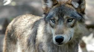 Was dürfen Wölfe fressen?