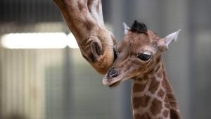 Aufzucht von Giraffen wird immer weniger