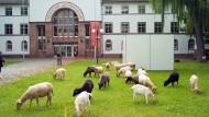 Tierisch: Seit 20 Jahren gibt es die Kunstansichten, für die 2008 auch schon Schafe und Ziegen vor dem Museum grasten.
