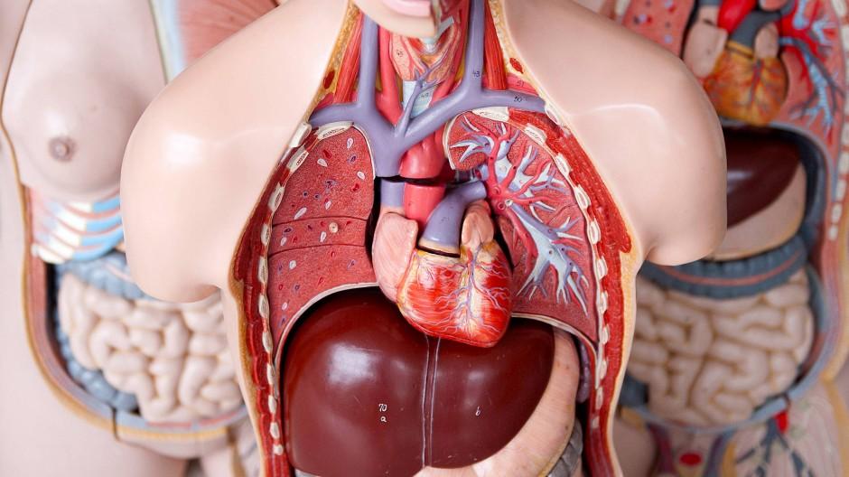 Herz, Leber, Lunge: Anatomisches Modell eines Menschen