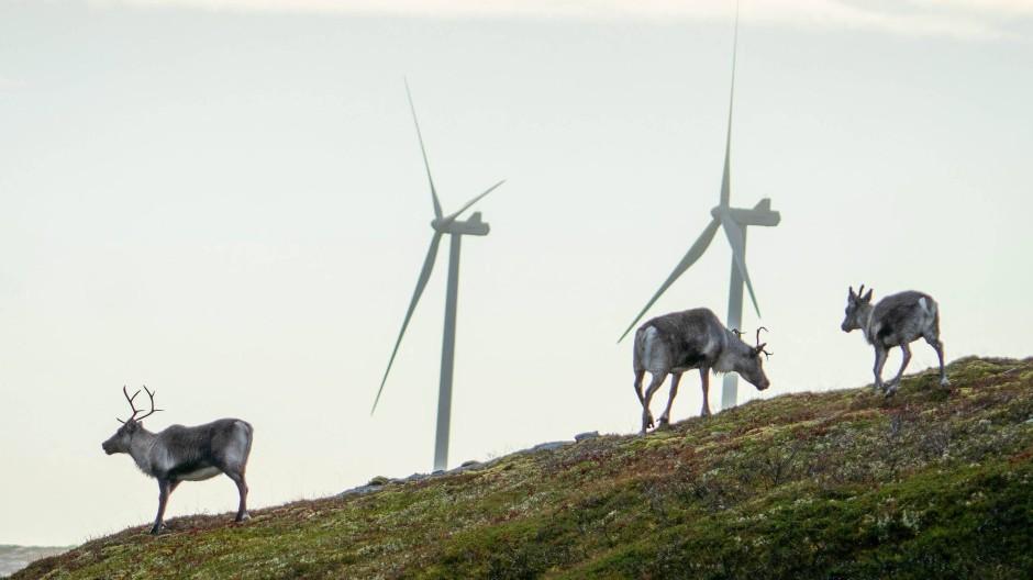 Rentiere stehen vor den umstrittenen Windkraftanlagen in Storheia.