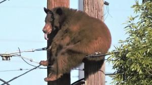 Bär macht es sich auf Strommast gemütlich