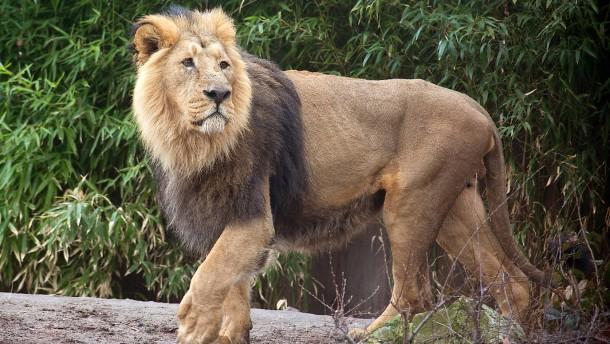 Ob Löwe, Gorilla oder Frosch - Zoo-Nachzucht soll Arten erhalten