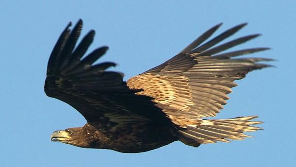 Wie simsende Adler russische Forscher fast in den Ruin trieben