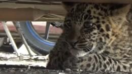 Leopard macht Städtetrip