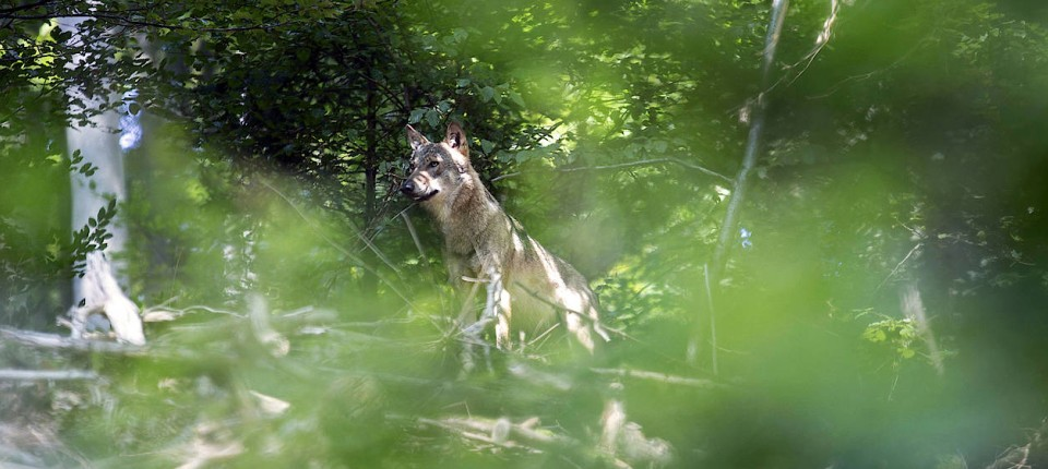 Wolf Odenwald
