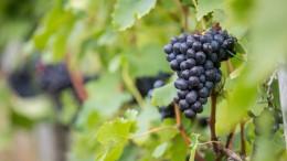 Britischer Wein boomt
