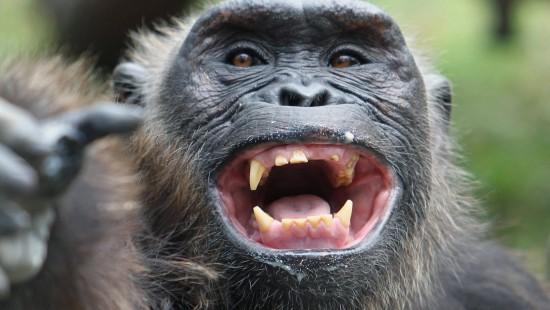 Schimpansen dürfen in Rente gehen
