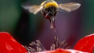 Eine Erdhummel schwebt über einer Blüte, die besonders schmackhaften Nektar verspricht.