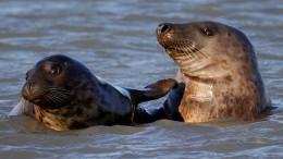 Rückkehr der Seehunde an die Nordküste Frankreichs
