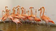 Diese Flamingos sind im Zoo von Miami in Sicherheit gebracht worden.