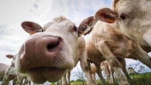 So freuen sich Kühe über ihren ersten Weidetag