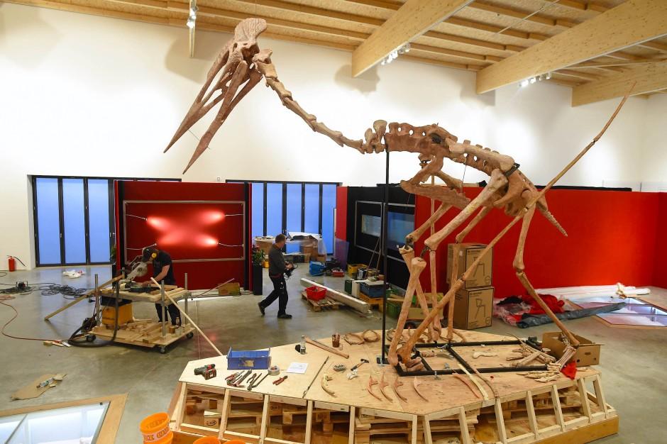"""""""Dracula"""" wird aufgebaut. Das Skelett ist eine Rekonstruktion aufgrund mehrerer Fossilienfragmente verschiedener, auch verschieden großer Individuen der neuen Spezies."""