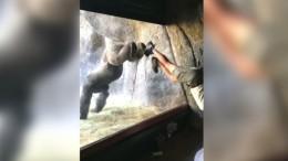 Gorilla-Gymnastik im Zoo