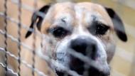 """Der Staffordshire-Terrier-Mischling """"Chico"""" hatte Anfang April seine Besitzerin und deren Sohn totgebissen und wurde später eingeschläfert. Sein Tod hat massive Proteste verursacht."""