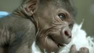 Gorillamädchen auf Familienbesuch
