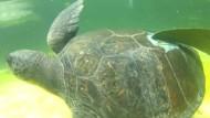 Schwimmhilfen für behinderte Schildkröte