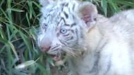 Weiße Tigerbabys verzaubern Zoobesucher in Buenos Aires