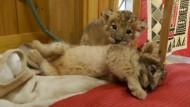 Tierische Attraktion: Löwenbabys