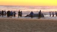 Gestrandeter Buckelwal an der Goldküste gerettet