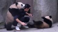 Kleine Pandas überrumpeln Tierpfleger