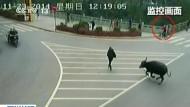 Büffel jagt Passanten und wird erschossen