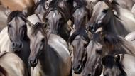 Rund 400 Pferde leben vom Menschen weitgehend ungestört ein paar Kilometer westlich von Dülmen.