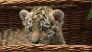 Tiger-Baby in Berlin vorgestellt