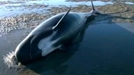 Dutzende Wale gestrandet