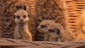 Erdmännchen-Babys vorgestellt
