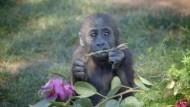 Gorillamädchen feiert Geburtstag
