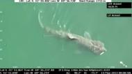 Riesenhai vor der Küste von Massachusetts gesichtet