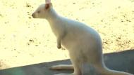 Albino-Känguru-Baby macht die ersten Sprünge
