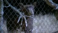 Wilder Bär liefert sich Verfolgungsjagd mit Polizei